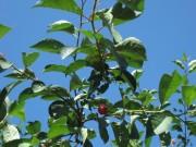 Полезные свойства листьев вишни и их применение