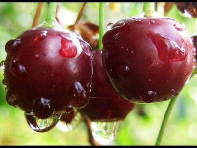 Что приготовить из вишни? Рецепт восхитительного пирога и морса