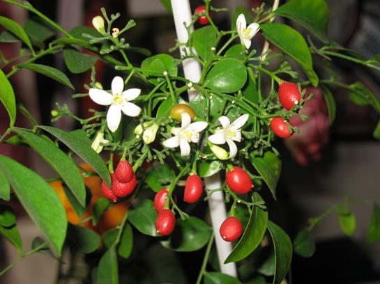 Лечебные свойства Мурайи: вырастить лекарство на подоконнике